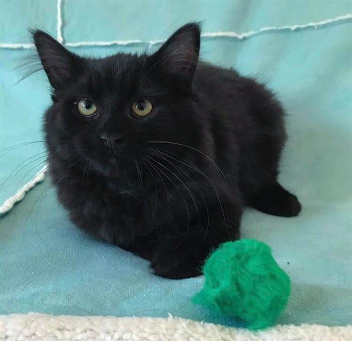 black kitten up for adoption tito