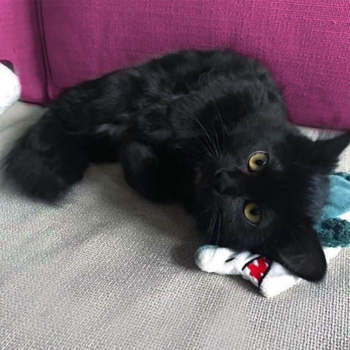 black kitten up for adoption tyana