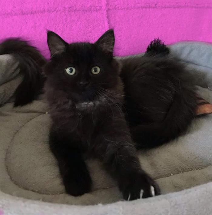 black kitten up for adoption tynie