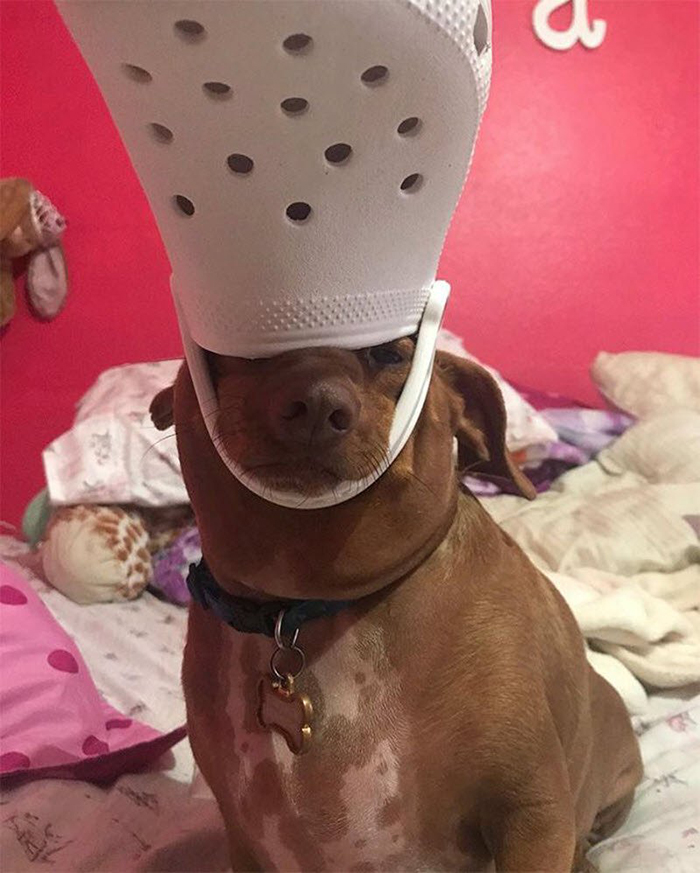 brown dog wearing a white croc as hat