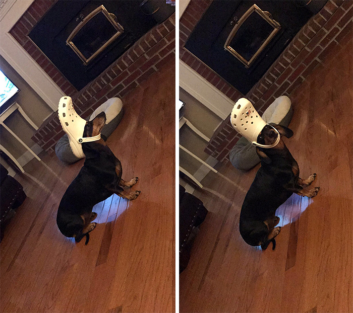 dachshund with a white croc on head