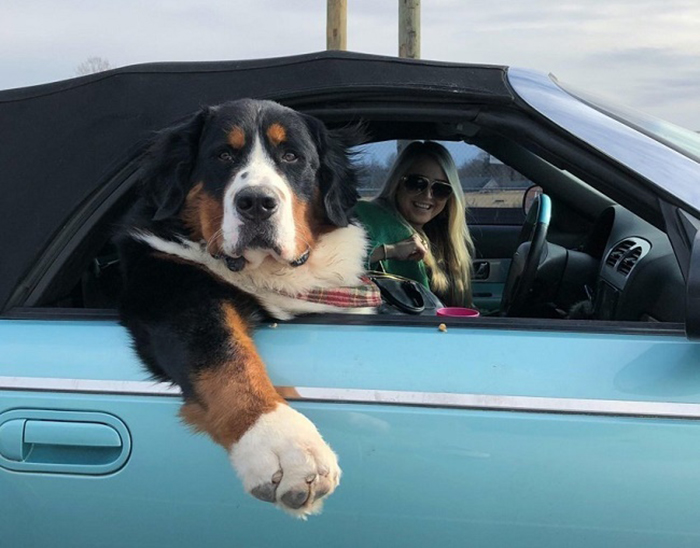 dog sitting on the front passenger seat of a car