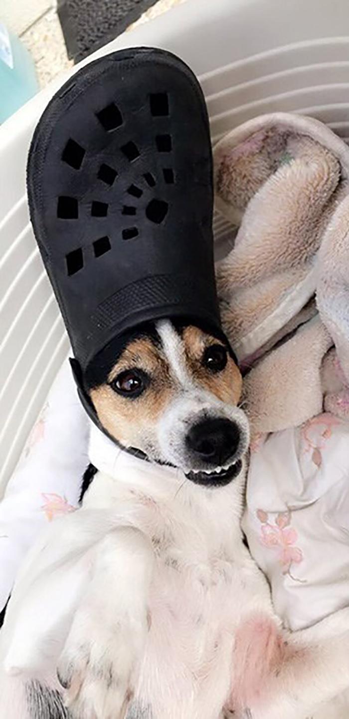 dog wearing a black croc hat