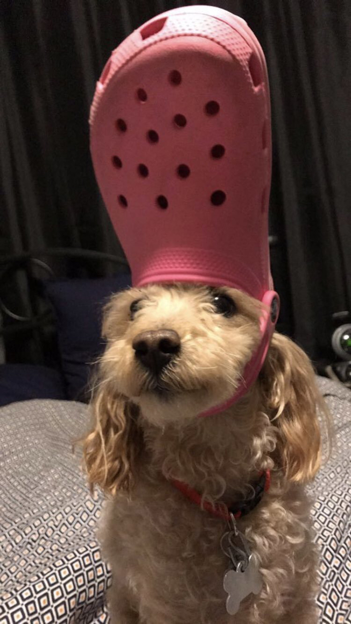 dog wearing a red croc hat
