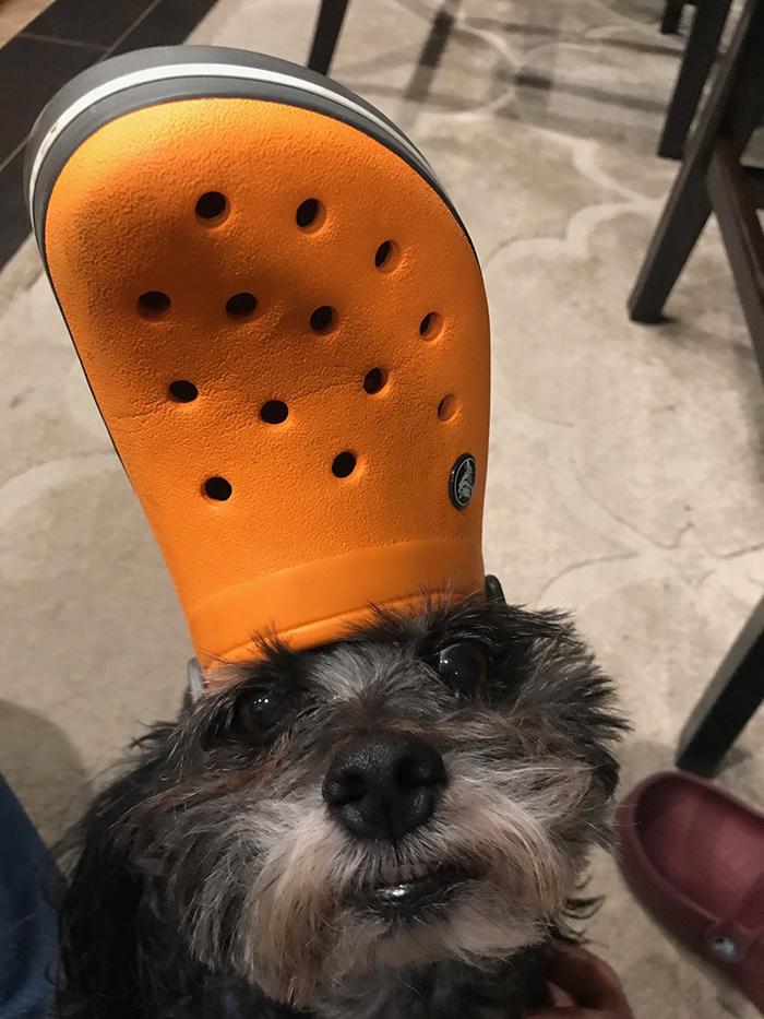 dog wearing an orange croc hat