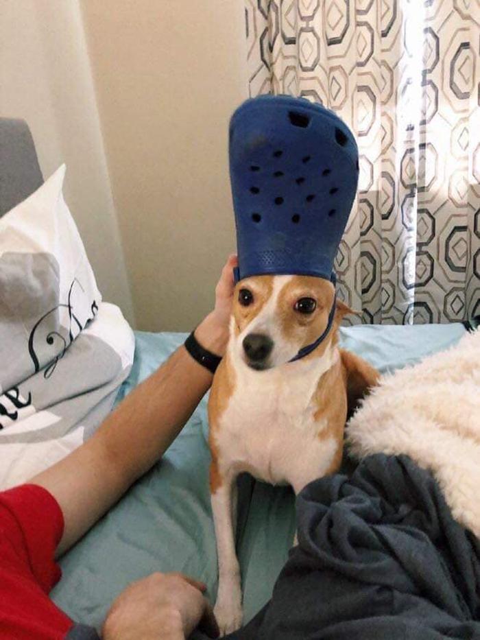 pet with a blue croc hat