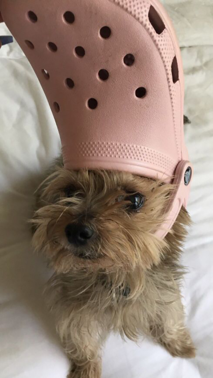 dog with a pink croc on head
