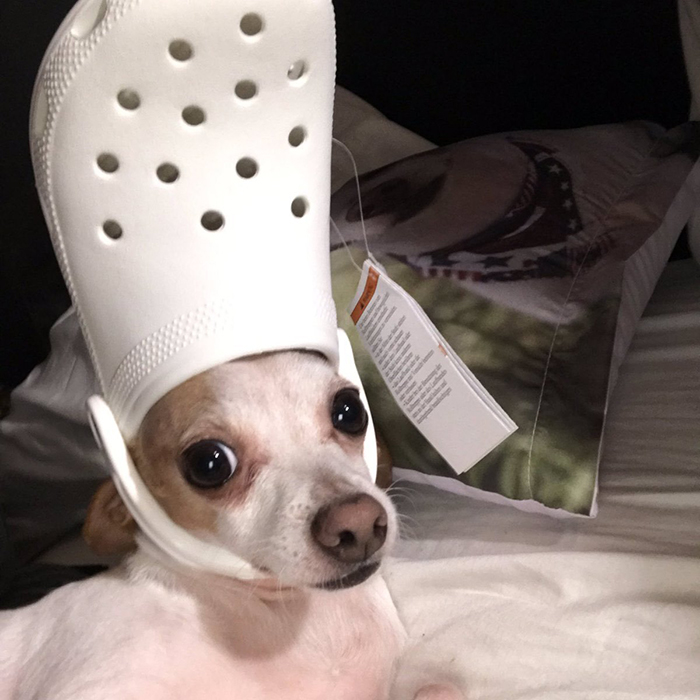 Puppy with a white croc on head