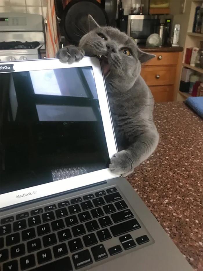 kitty bites laptop