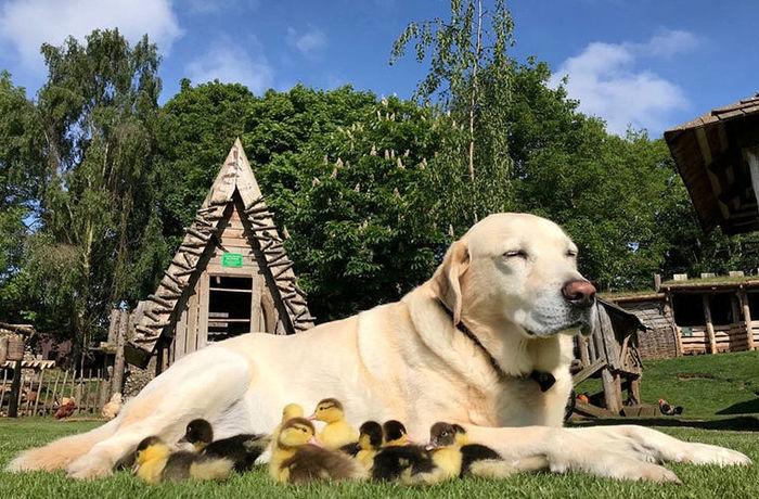 labrador retriever with nine chicks