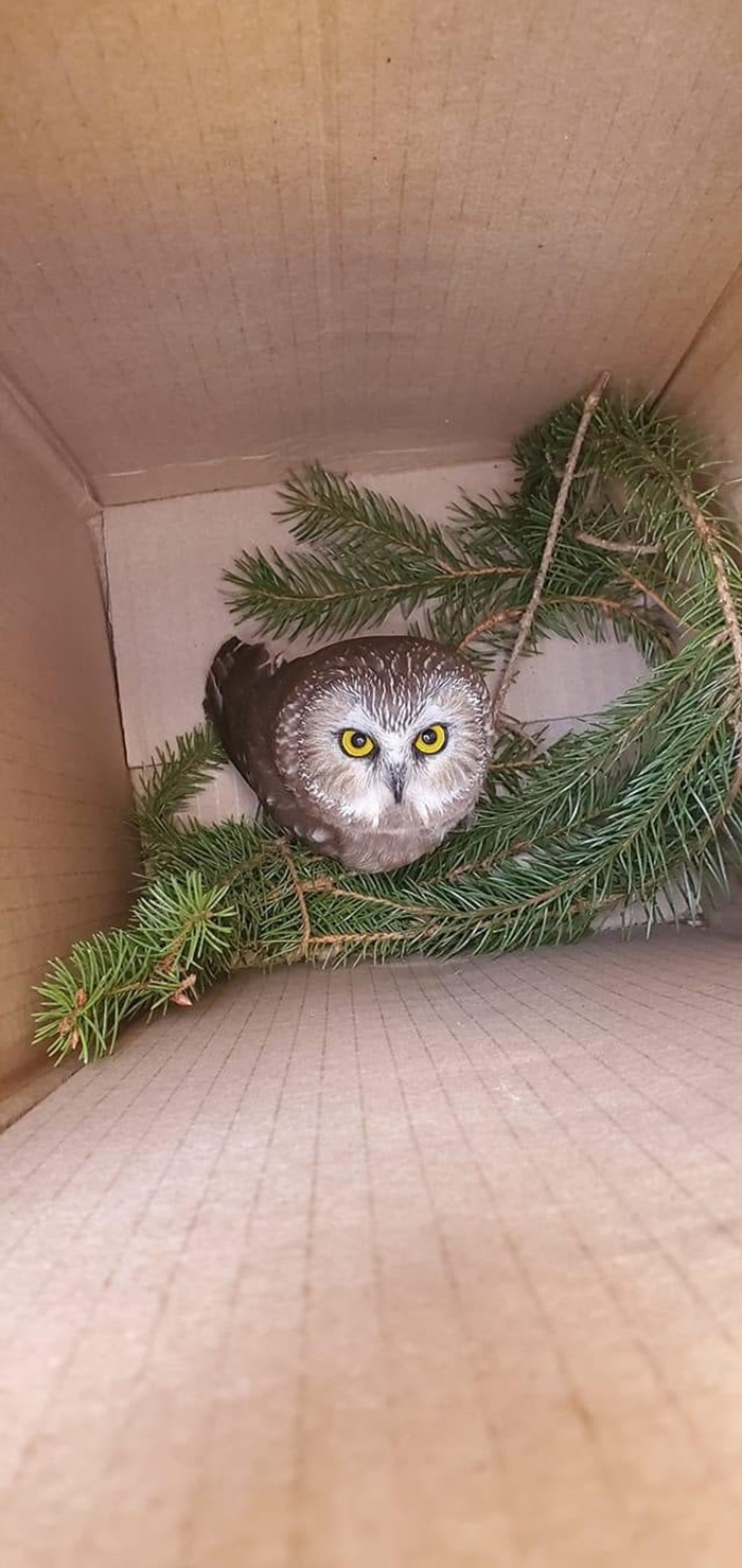 owl rescued from rockefeller christmas tree