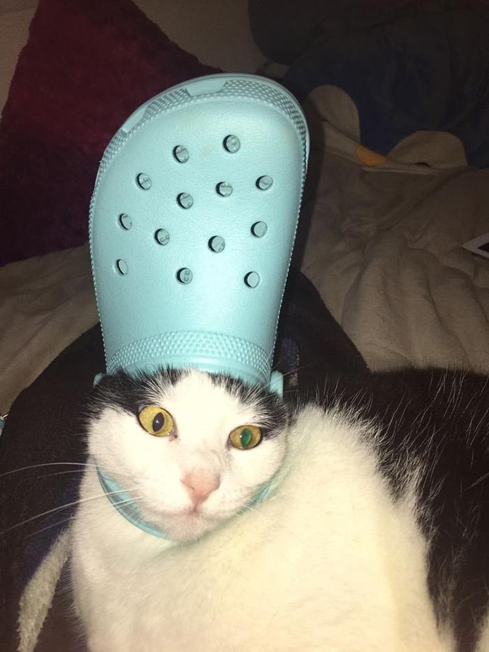 pet cat wearing a blue croc hat
