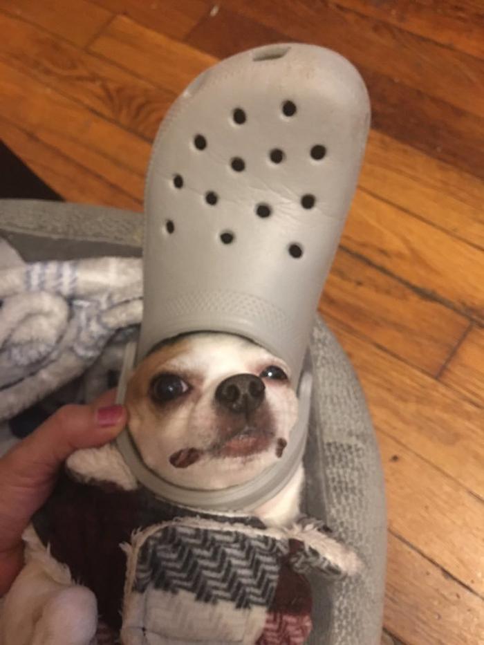 pet cat wearing a grey croc hat