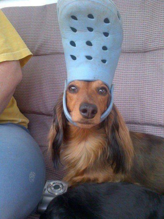 pet dog wearing a blue croc hat