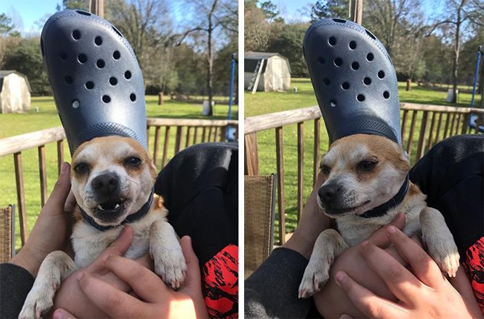 pet dog wearing a navy blue croc hat