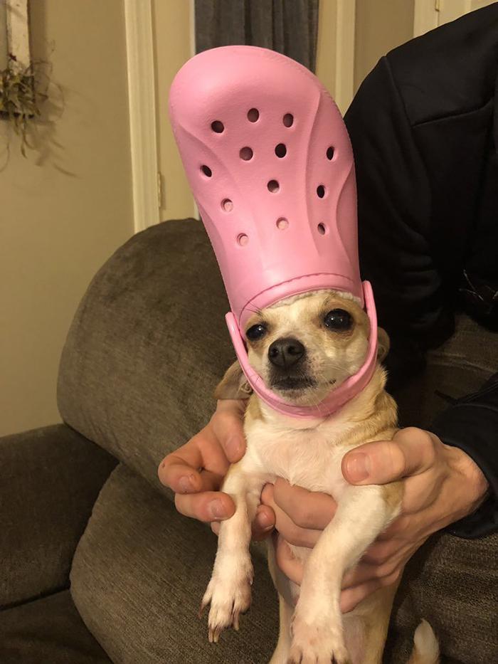 pet wearing a pink croc hat