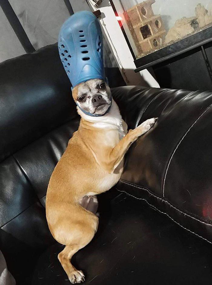 pet dog with a blue croc hat