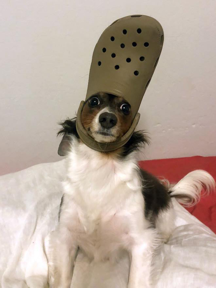 pet dog with a brown croc hat