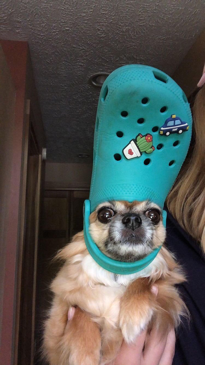 pet dog with a teal croc hat