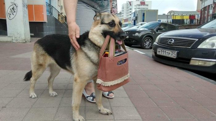 pooch carrying owner's bag