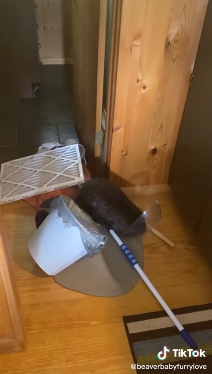 rodent using household items to build a dam
