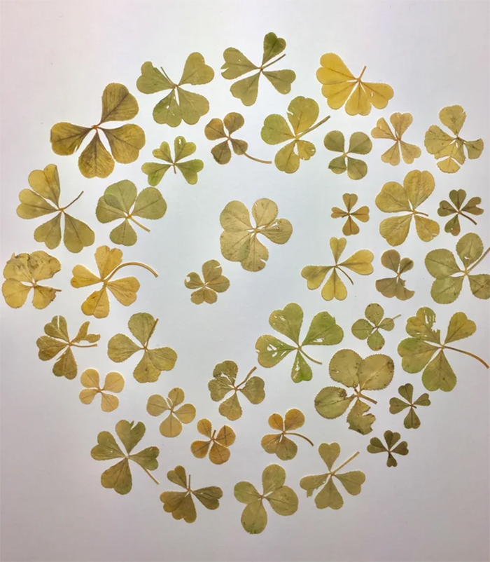 strange collections four leaf clovers