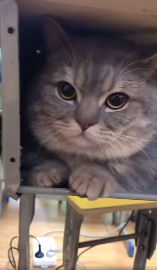 Ba Dun the Cat peers out from under his owner's desk