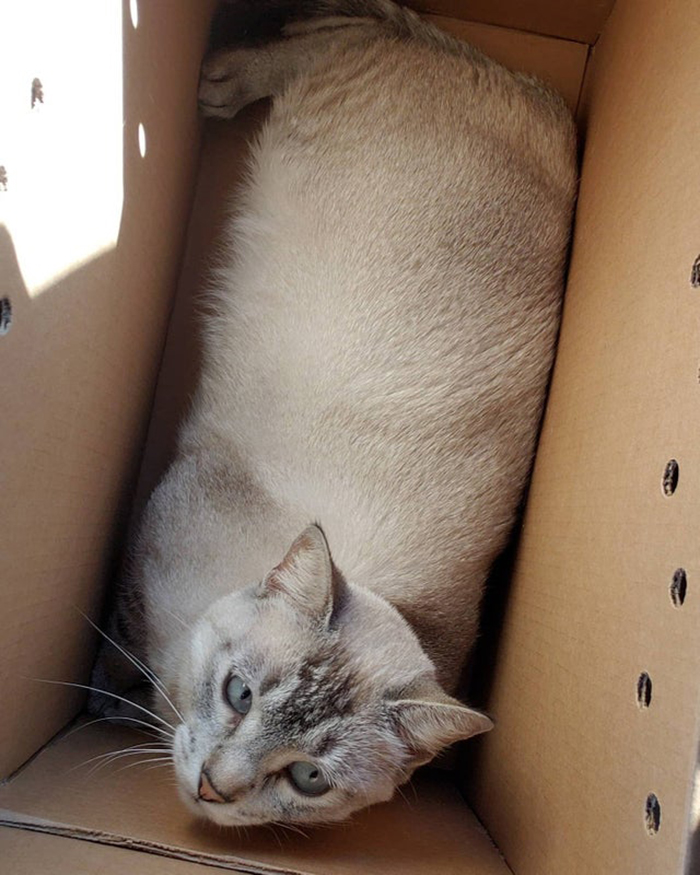 adopted cat inside a box