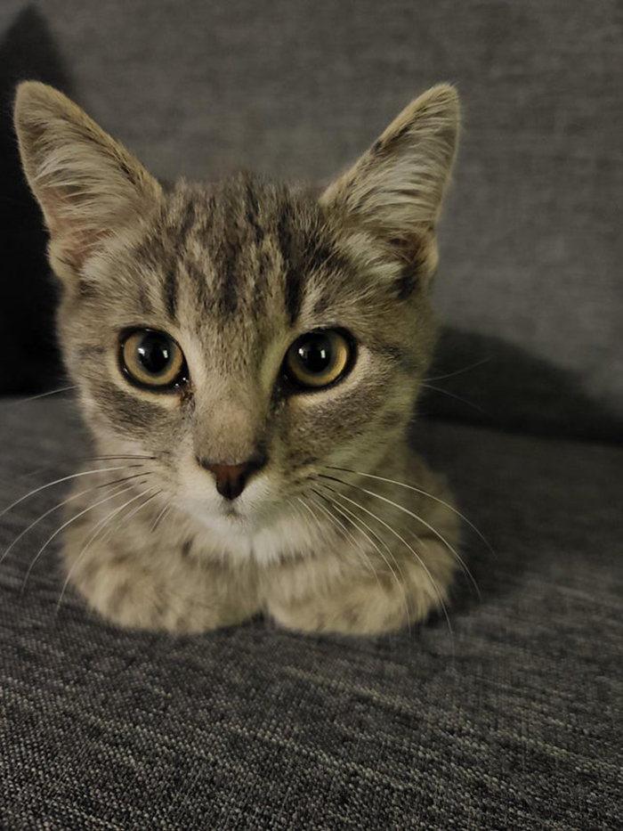 adopted tabby kitten