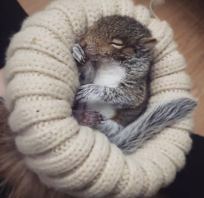 baby squirrel sleeping on a beanie rescue pet photos