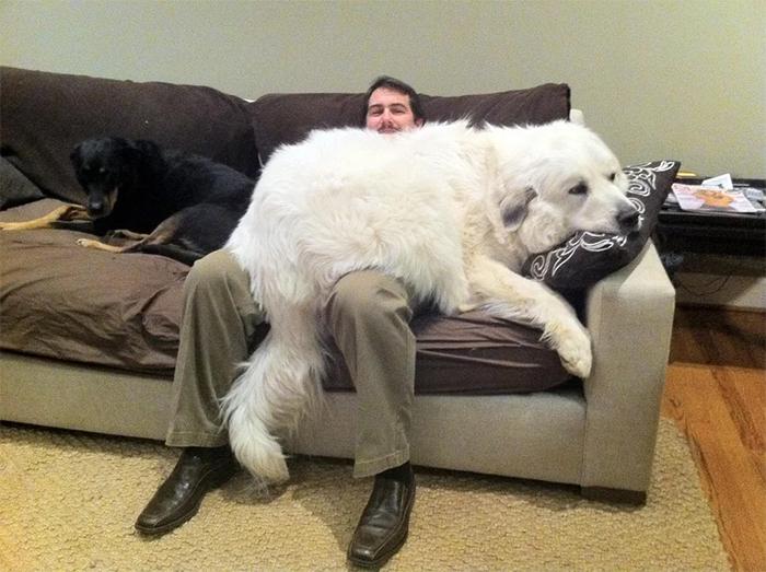 big dogs bear lapdog