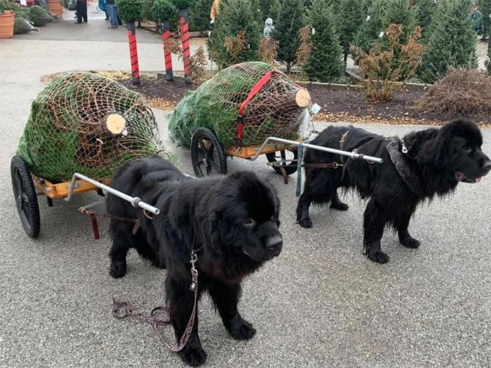 big dogs christmas tree farm