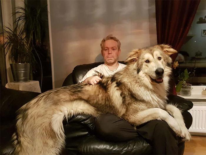 big dogs giant lapdog