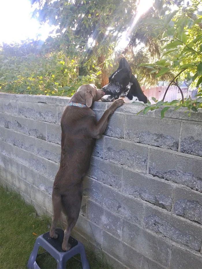 big dogs greeting each other over the fence
