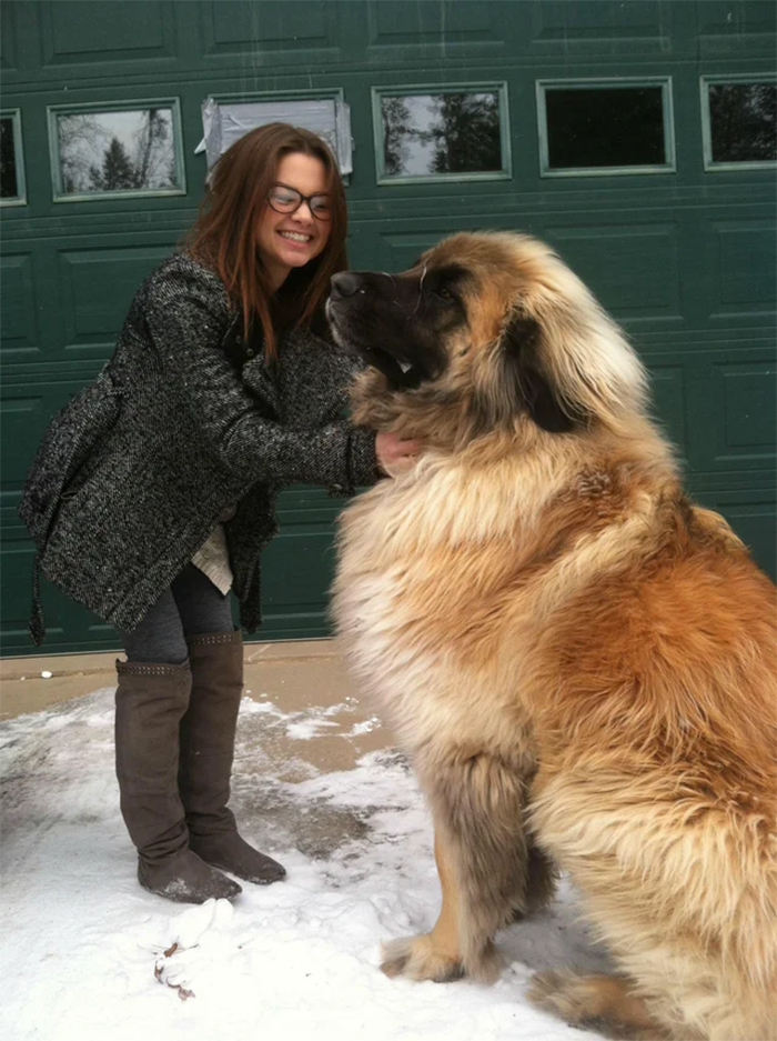 big dogs leonberger