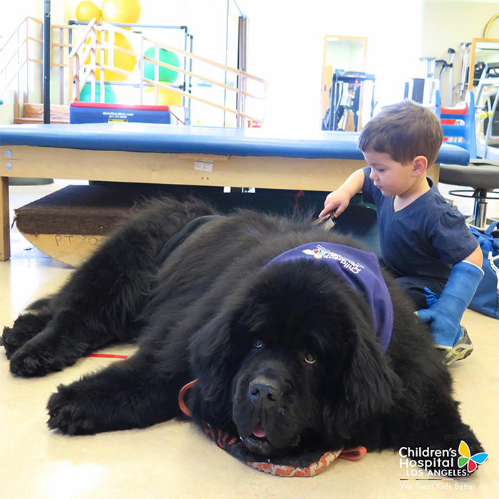 big dogs newfoundland therapy dog
