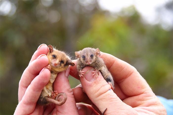 endangered marsupial species