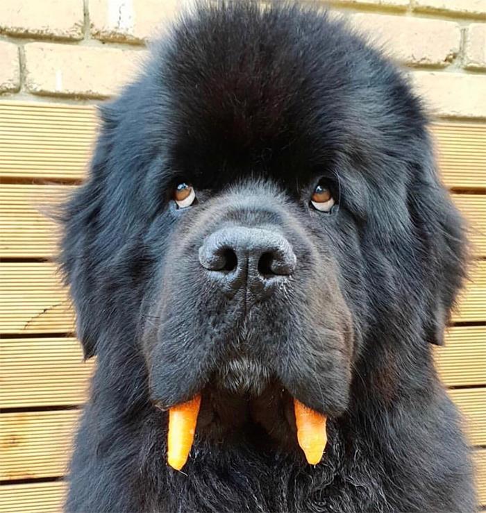 fluffy doggo carrot teeth walrus