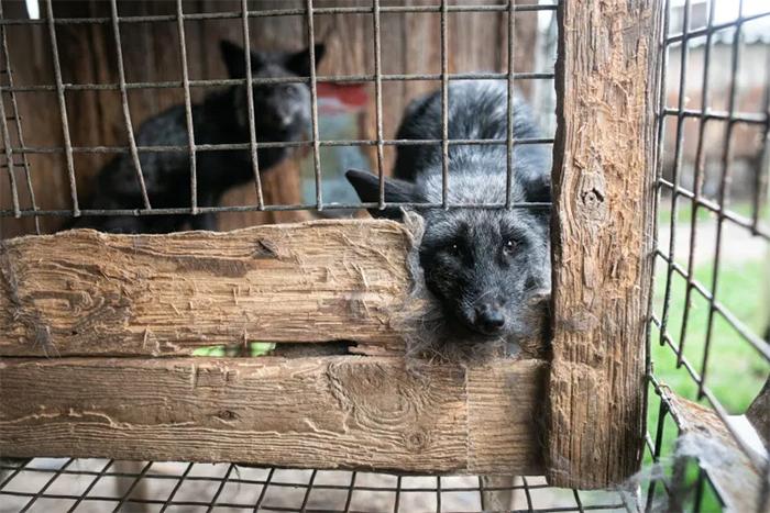 fox fur farm cruelty