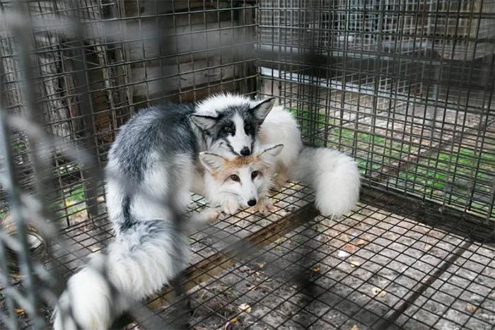 foxes in captivity fur farm cruelty