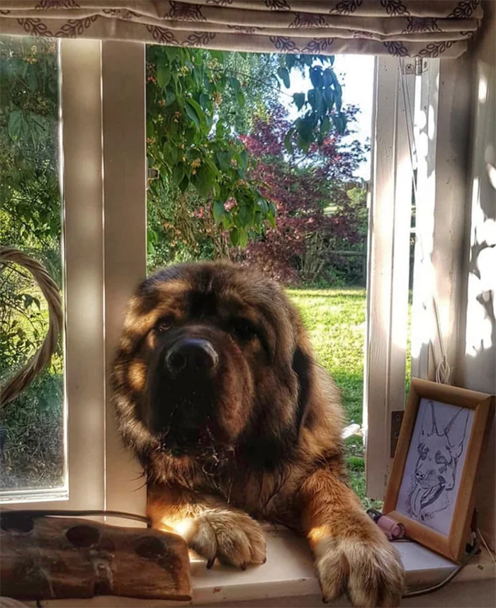 friendly giant canine on the window
