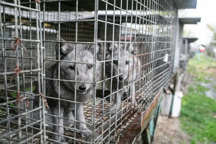 fur farm foxes in cages