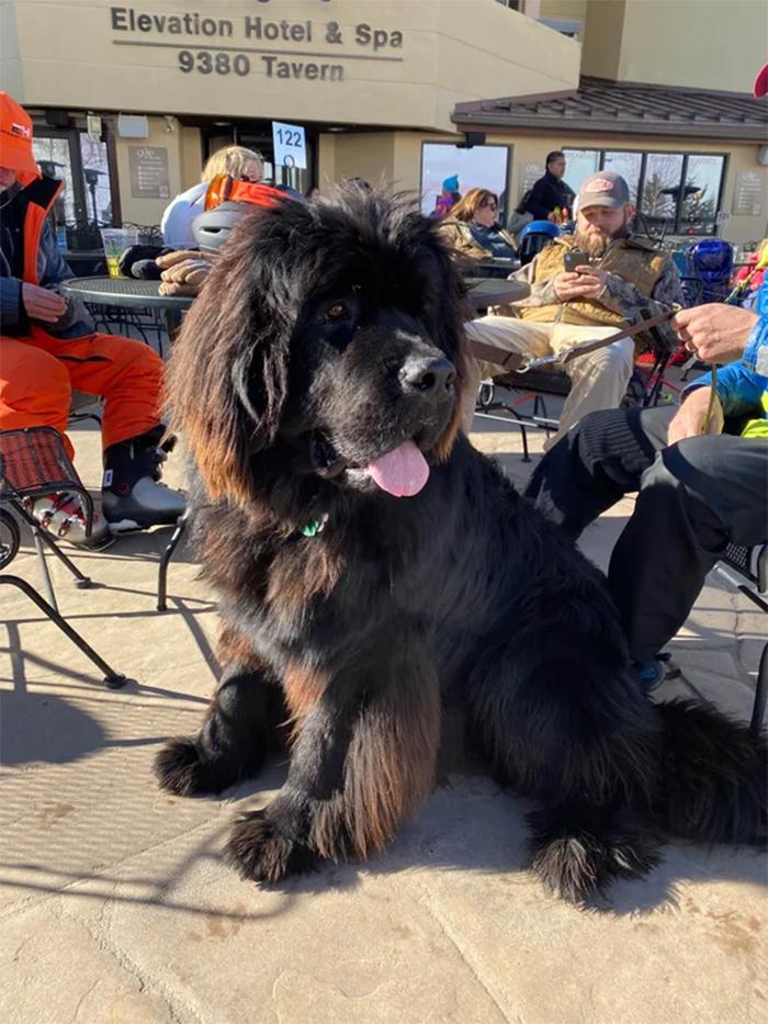 giant canine looks like lion