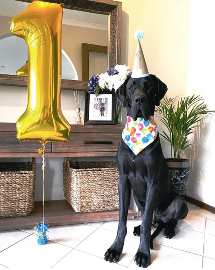 giant dane turns one year old