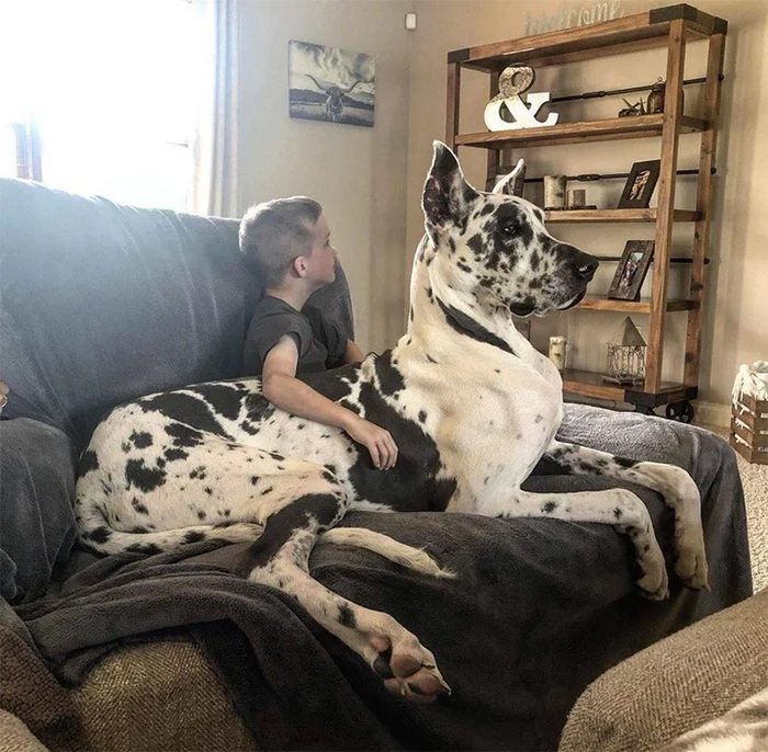 giant lapdog
