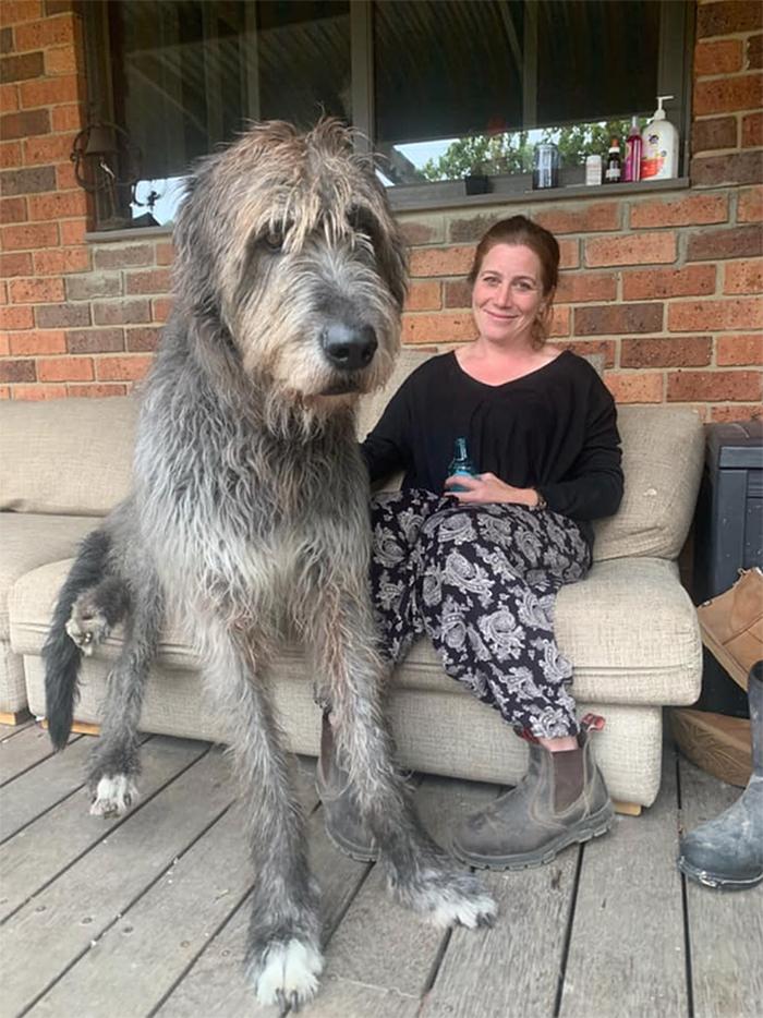 irish wolfhound gentle giant