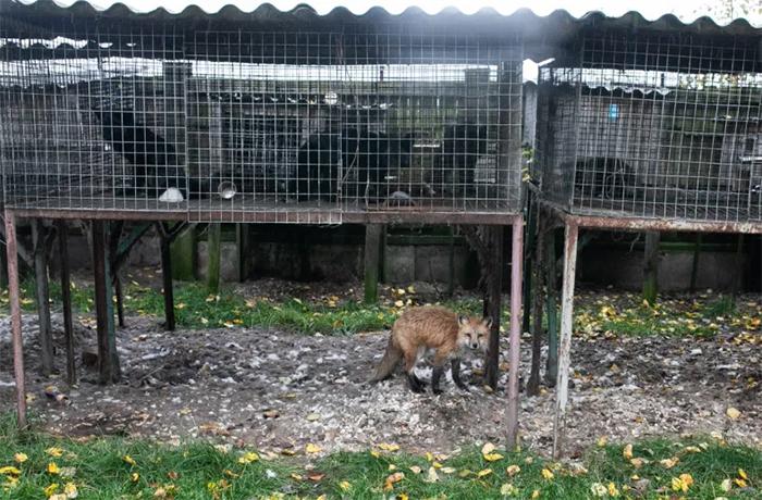 little red fox escaped fur farm