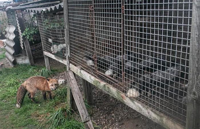 little red fox fur farm