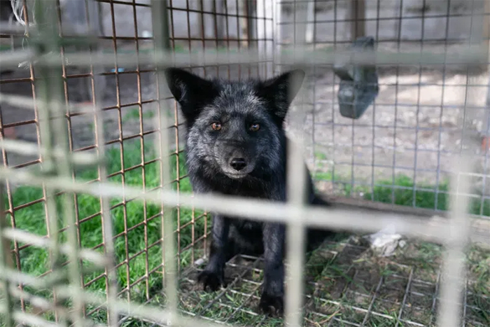 open cages exposed fur farm cruelty