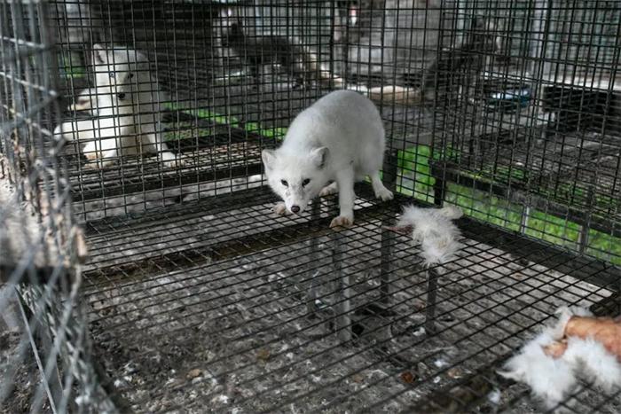 poland fur farm animal cruelty